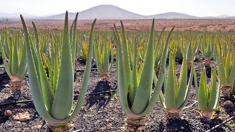 Aloe Vera in the Canaries