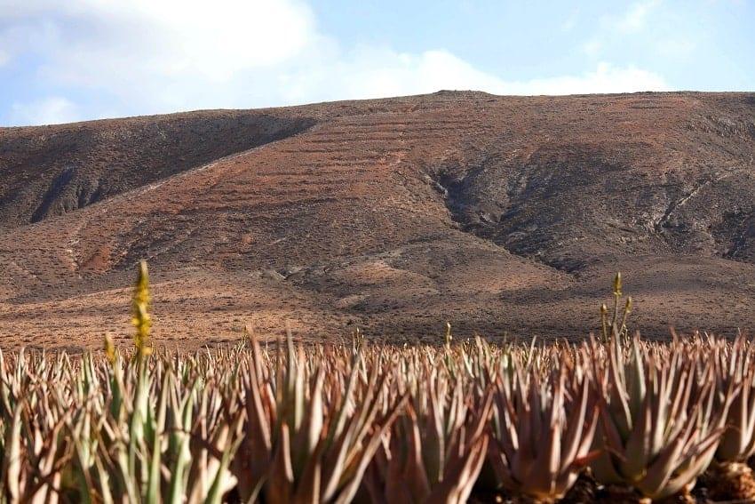 Aloe Vera, Fuerteventura