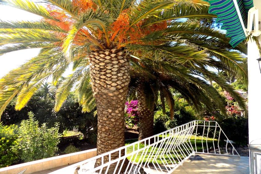 Spain - Canary Islands - La Palma - Tajuya - Casa La Palmera - Subtropical garden with palm trees and fresh fruits