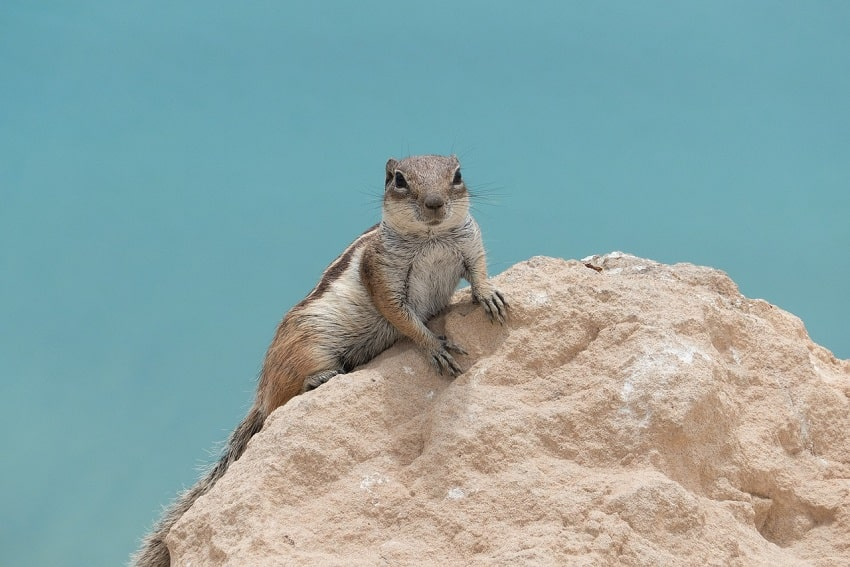 Chipmunk on Fuerteventura